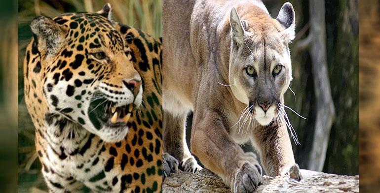 Confirman presencia de jaguares y pumas en bosques de Hidalgo